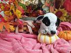 Patches Jack Russell Terrier Puppy Female