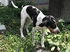Smokey Bluetick Coonhound Young Male