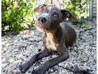 Alexis American Pit Bull Terrier Puppy Female