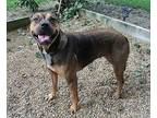 BAMBI Rottweiler Young Female
