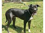 George Great Dane Young Male