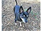 Saleh Rat Terrier Adult Female