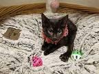 Aria Domestic Shorthair Kitten Female