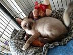 Cannoli Siamese Kitten Male