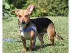 Deputy Dog (Neutered) Beagle Adult Male