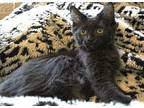 T'Challa Manx Kitten Male