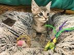 Cosmo Domestic Shorthair Kitten Male