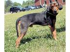 Harry T Stone Black and Tan Coonhound Young Male