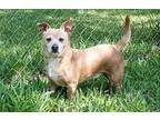 Scooter Chihuahua Adult Male