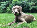 Solo Weimaraner Young Male