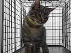 19-01436 Domestic Shorthair Kitten Male
