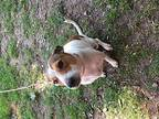 Daphne *Courtesy Post* Jack Russell Terrier Adult Female