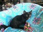 Odessa Bombay Kitten Female