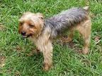 Jake Yorkie, Yorkshire Terrier Adult Male