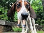 Kaiser Treeing Walker Coonhound Puppy Male