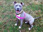 Spark American Staffordshire Terrier Puppy Male