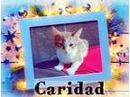 CARIDAD Domestic Shorthair Kitten Female