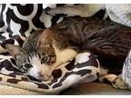 Sophi Munchkin Kitten Female