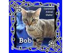 Bob Domestic Shorthair Young Male