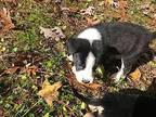 Benny Hound (Unknown Type) Puppy Male