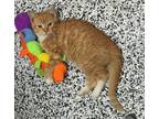The Great Catsby Domestic Shorthair Kitten Male