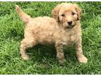 Miniature Poodle Puppy for Sale - Adoption, Rescue