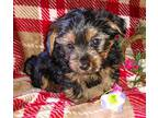 Morkie Puppy for Sale - Adoption, Rescue