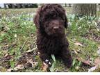 Labradoodle Puppy for Sale - Adoption, Rescue