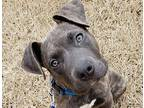 Mac American Pit Bull Terrier Young Male