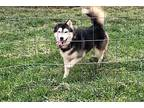 Clay Siberian Husky Young Male