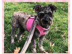 SAILOR (SRC#1983) IN NC Miniature Schnauzer Adult Female