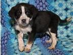 Jack (Adoption Pending) Australian Cattle Dog Puppy Male