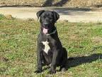 IAN Labrador Retriever Puppy Male