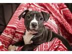 Savannah Pit Bull Terrier Puppy Female