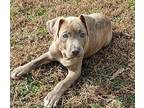Skylar American Pit Bull Terrier Puppy Female
