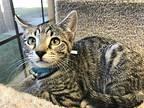 Princess Peach Domestic Shorthair Kitten Female