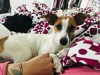 Chickpea - Pending Adoption Jack Russell Terrier Puppy Female