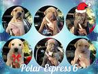Polar Express 6 American Bulldog Puppy Male