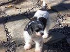 SHELBY (SRC#1980) in SC Toy Poodle Young Female