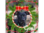 Gem Rottweiler Adult Female