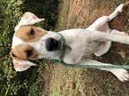 Mica Pointer Puppy Male
