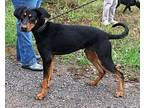 Boris 10-20-18 Doberman Pinscher Adult Male