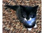 Stammer Domestic Shorthair Kitten Male