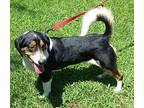 BAXTER-NEW LEASH ON LIFE Basset Hound Young Male