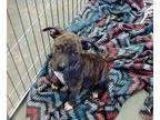 Bonnie Pit Bull Terrier Puppy Female