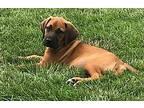 Harry Bloodhound Puppy Male