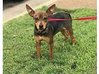Scooby (GAPR/Fostered in TN) Miniature Pinscher Young Male