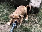 Tesla Pit Bull Terrier Puppy Male