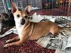Popcorn (GAPR/Fostered in TN) Chihuahua Adult Male