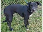 Crystal Labrador Retriever Adult Female